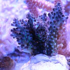 Acropora_13 (pearlberry)